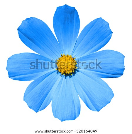 Cyan flower Primula isolated on white - stock photo