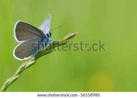 Cyaniris semiargus. Photograph in France, Doubs