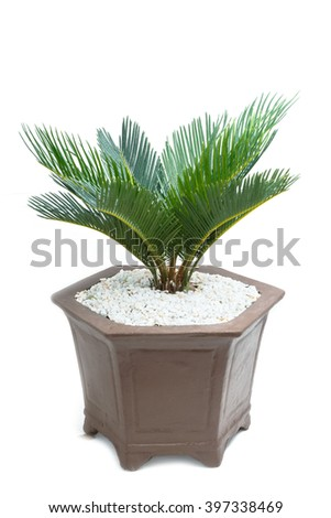cycad plam tree plant on white background - stock photo