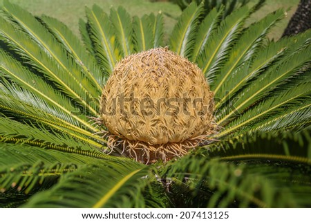 Cycas Sago Palm with a large yellow Seed in it's center. - stock photo