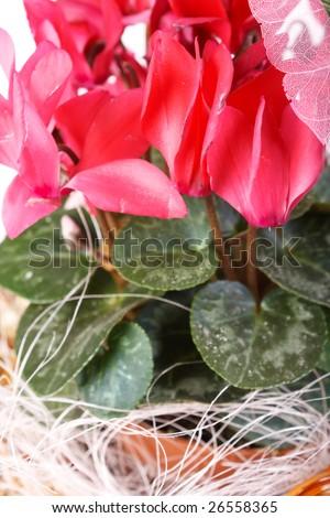 cyclamen - stock photo