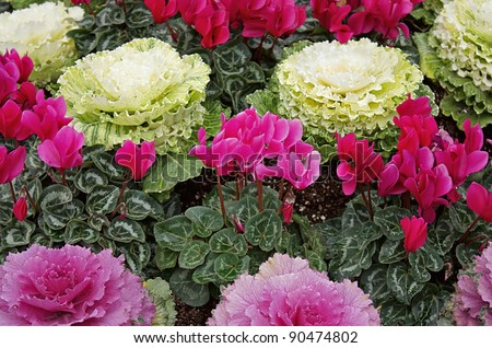 Cyclamen and ornamental cabbage. - stock photo