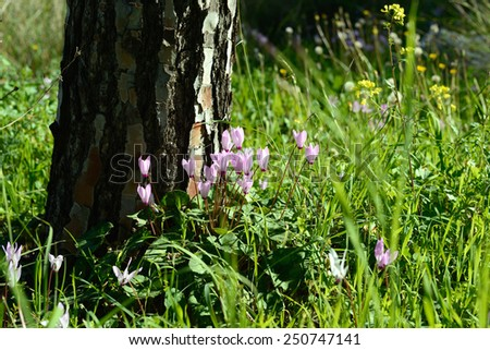 Cyclamen Cyprium flowers (Cyprus cyclamen) growing in a forest - stock photo