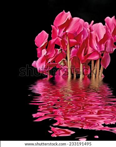 cyclamen flowers - stock photo