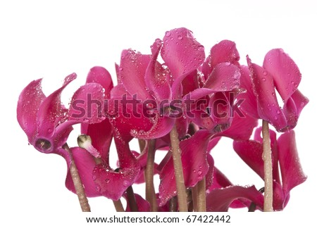 cyclamen flowers with rain drops isolated - stock photo