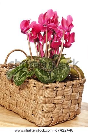 cyclamen in basket flower decoration - stock photo
