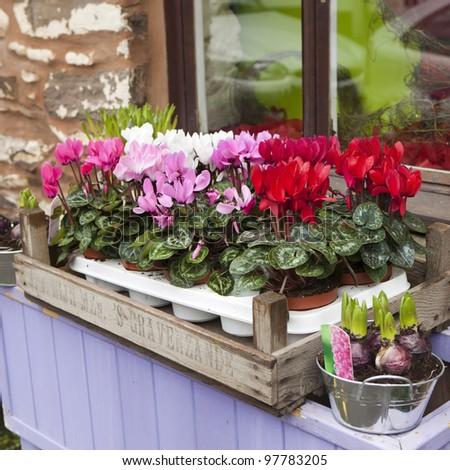 cyclamen in box on window-sill - stock photo