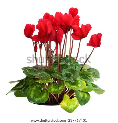 Cyclamen plant with red flowers cutout - stock photo