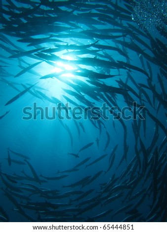 cyclone barracudas at sipadan - stock photo