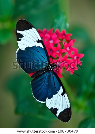 Cydno Longwing butterfly (Heliconius cydno) feeding on red star flowers. Natural green background. - stock photo