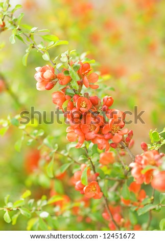 Cydonia flowers (shallow DoF) - stock photo