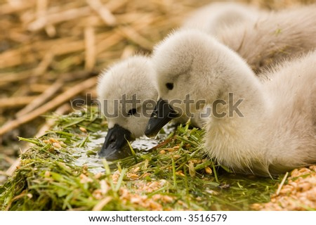 cygnets at swannery in Abbotsbury, Dorset, England