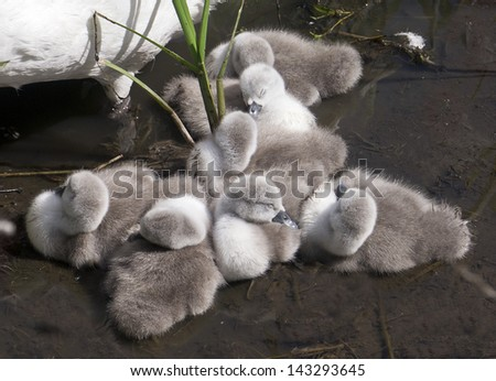 Cygnets;  tiny baby cygnets sleeping by their mother  - stock photo