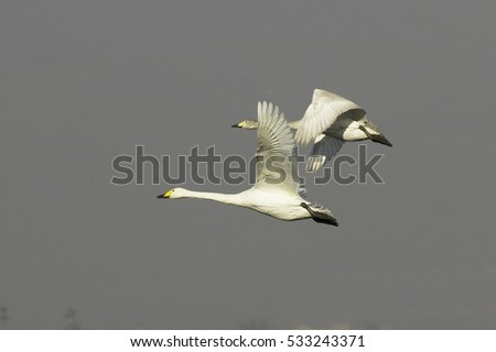 Cygnus cygnus / Whooper Swan -  adult and immature in flight!!!