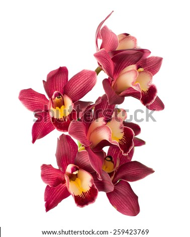 Cymbidium orchid. isolated - stock photo