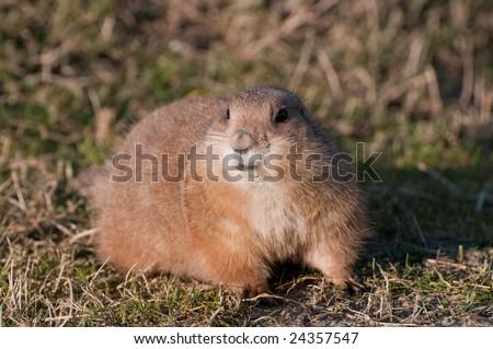 Cynomys (Prairie dog), single one - stock photo