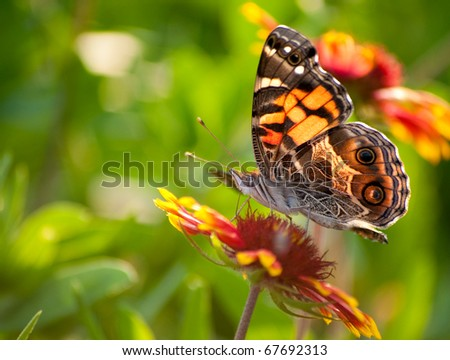 Cynthia virginiensis butterfly feeding on a bright Indian Blanket flower - stock photo