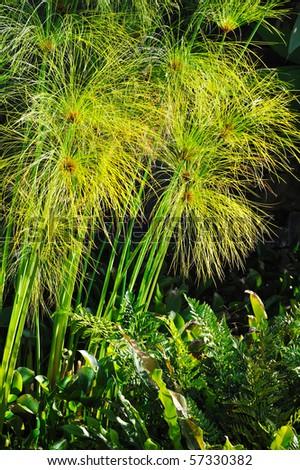 Cyperus papyrus - detail - stock photo