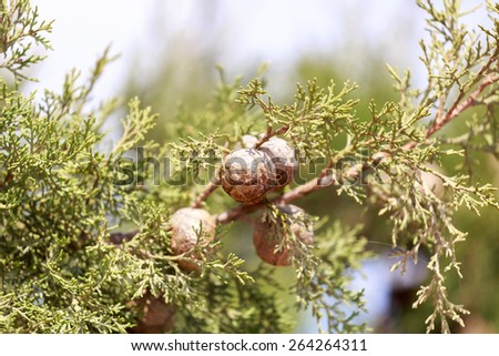 Cypress cones on a tree on blurred background - stock photo