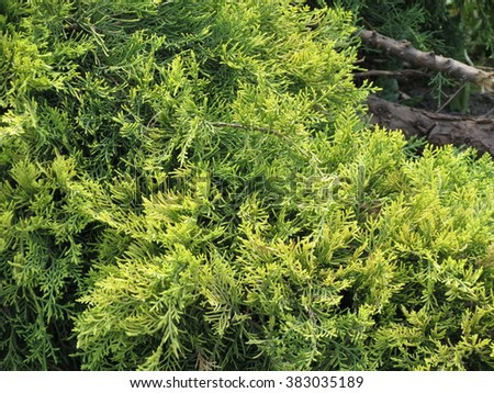 Cypress (Cupressus sempervirens) tree detail close up
