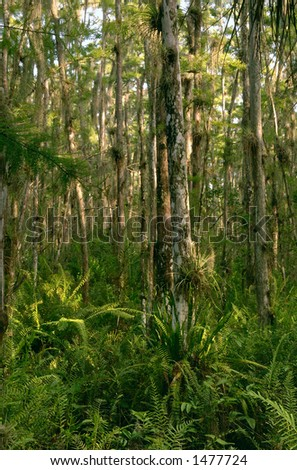 cypress grove and swamp at loxahatchee wildlife refuge in everglades ecosystem of south florida