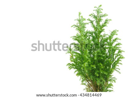 Cypress plant nearly suitable for background