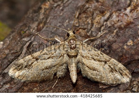 Cypress pug moth (Eupithecia phoeniceata). British insect in the family Geometridae, the geometer moths