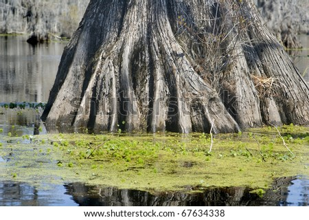 Cypress Roots - stock photo