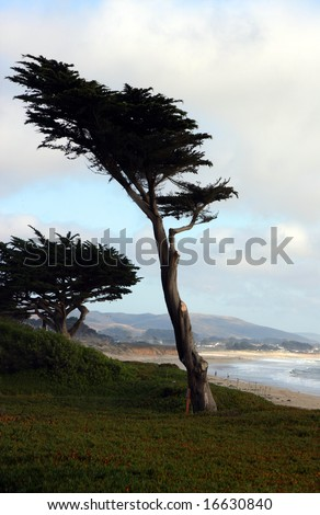 cypress tree half moon bay - stock photo