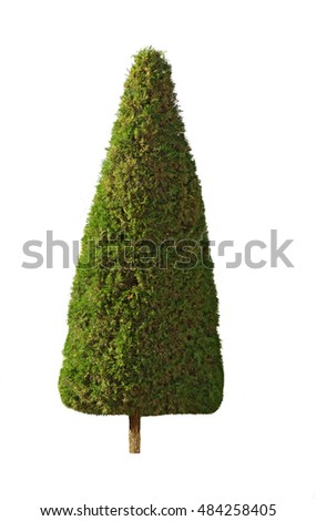 Cypress tree, isolated
