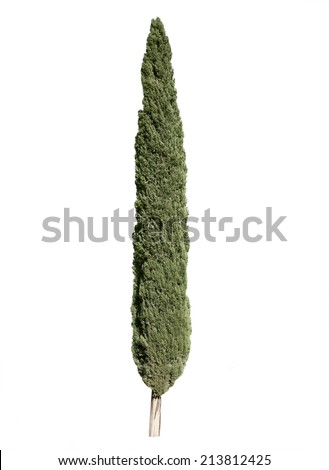 Cypress tree isolated over white background - stock photo