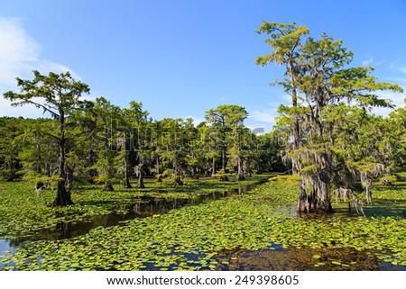 Cypress trees at Caddo Lake, Texas - stock photo