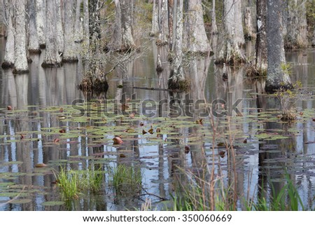 Cypress trees in a swamp