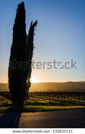 Cypress trees in Napa vineyard, California, USA - stock photo
