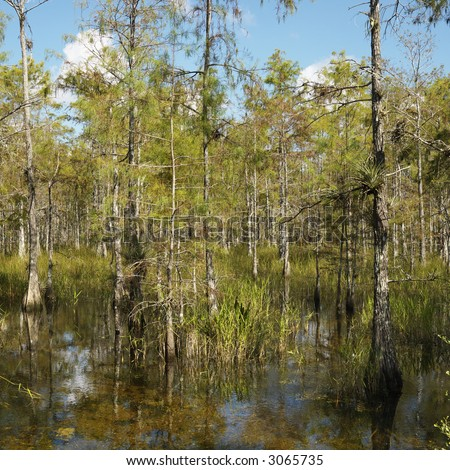 Cypress trees in wetland of Everglades National Park, Florida, USA. - stock photo