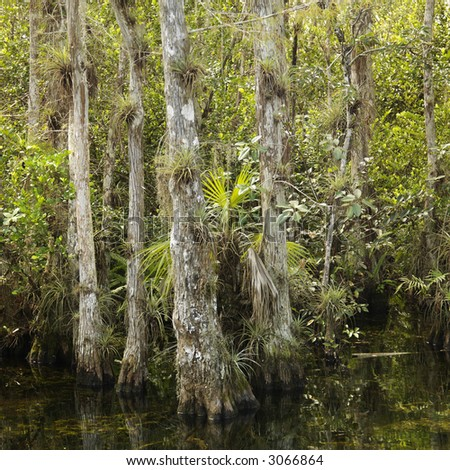 Cypress trees in wetland of Everglades National Park, Florida, USA.