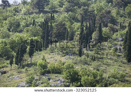 Cypress trees on a hill in the backlight - stock photo