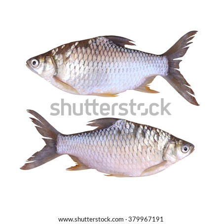Cyprinidae or Silver barb is in the freshwater fish on white background and have clipping paths.