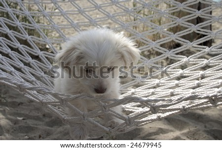 Cyprus poodle puppy at rest in a hammock