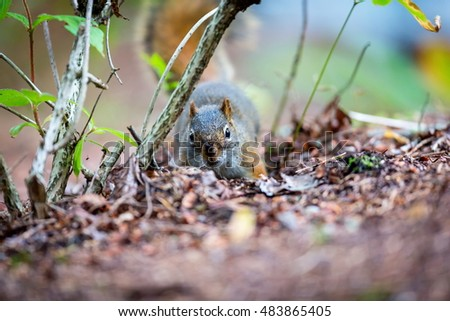 Cyril the Red Squirrel burying his nuts in a Boreal forest in northern Quebec. The squirrel or Eurasian red squirrel is a species of tree squirrel. The red squirrel is an arboreal, omnivorous rodent.