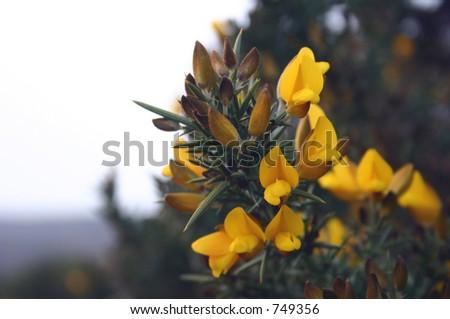 Cytisus scoparius - stock photo