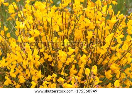 Cytisus scoparius. Retama. Black Broom, Hiniesta. - stock photo