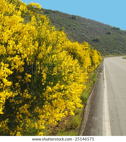 Cytisus scoparius ssp. scoparius, Scotch Broom, also called Common Broom, bushes on side of road in the California mountains - stock photo