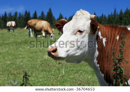 Czech Republic - Bohemian Forest - cattle out at grass - stock photo