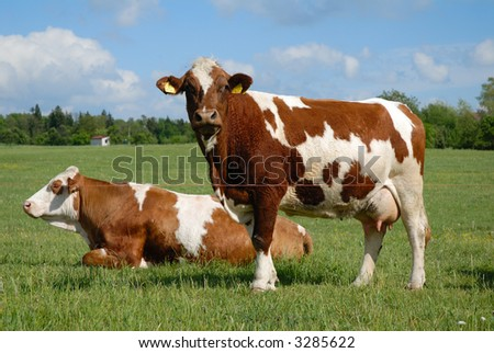 Czech republic landscape with cow - stock photo