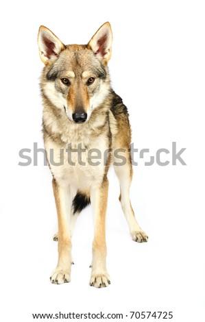 Czechoslovak wolfhound - stock photo
