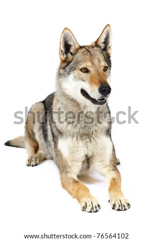 Czechoslovak wolfhound in studio on a white background