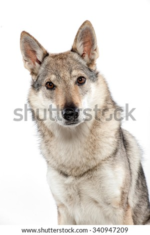 Czechoslovakian wolf dog , a hybrid between a German Shepherd dog and Carpathian wolf, sitting looking staring alertly at the camera, head portrait over white - stock photo
