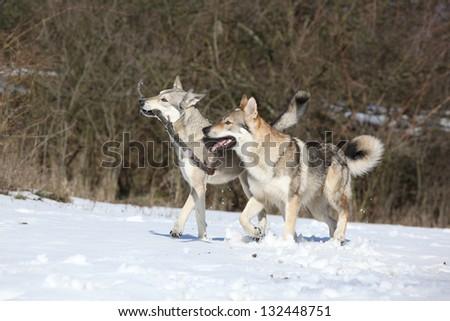 Czechoslovakian wolfdog and Saarloos - stock photo