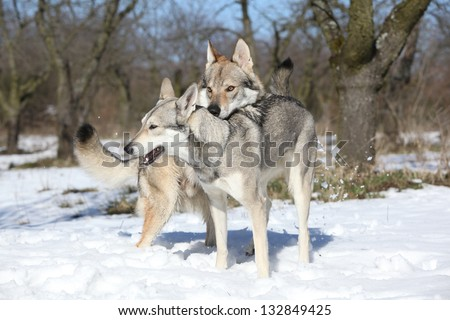 Czechoslovakian wolfdog courting a Saarloos bitch - stock photo